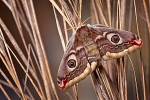 Small emperor moth female (Saturnia pavonia), Peak District National Park, UK. April. - Alex Hyde