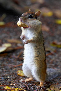 Eastern Chipmunk (Tamias striatus) with Peanut in mouth pouch, Algonquin Provincial Park, Ontario, Canada. October  -  Ben Lascelles