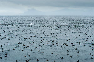 Short tailed Shearwaters (Puffinus tenuirostris) rafting and Humpback whales (Megaptera novaeangliae) mass feeding on krill in Aleutian Islands, off coast of Unalaska, Dutch Harbour, USA August - Mark Payne-Gill