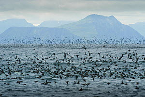 Short tailed Shearwaters (Puffinus tenuirostris) rafting and mass feeding on krill in Aleutian Islands, off coast of Unalaska, Dutch Harbour, USA August - Mark Payne-Gill