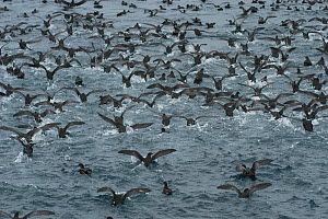 Short tailed Shearwaters (Puffinus tenuirostris) mass take off after feeding on krill in Aleutian Islands, off coast of Unalaska, Dutch Harbour, USA August - Mark Payne-Gill