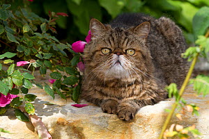 Male Exotic Shorthair cat, on rock slab by roses in garden;  Illinois, USA  -  Lynn M Stone