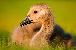 Canada goose (Branta canadensis) gosling portrait, Hornsey, London, UK May  -  Matthew Maran
