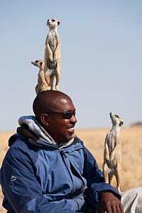Wild meerkats (Suricata suricatta) habituated to humans acting as sentry and standing alert on local guide's head for height, Makgadikgadi Pans, Kalahari desert, Botswana. No release available.  -  Kristel Richard
