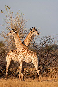 Two young male giraffes (Giraffa camelopardalis) standing in opposite directions. Mombo, Moremi Game Reserve, Chief Island, Okavango Delta, Botswana.  -  Kristel Richard