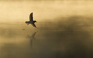 Common sandpiper (Actitis hypoleucos) adult in flight over misty loch at dawn. Cairngorms National Park, Scotland, UK. Highly commended, 'Habitat' category, British Wildlife Photography Awards (BWPA)...  -  Mark Hamblin