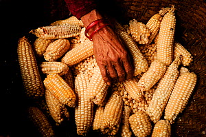 An old woman in a basket sorting maize / corn cobs, Manaslu Conservation Area, Himalayas, Nepal, October 2009.  -  Enrique Lopez-Tapia
