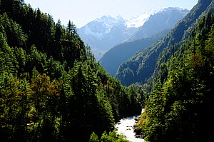 Coniferous forests in the Dudh Khola river valley, Annapurna Conservation Area, Himalayas, Nepal, October 2009. - Enrique Lopez-Tapia
