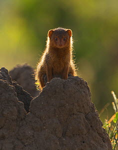 Dwarf mongoose (Helogale parvula) backlit sitting on top of a Termite mound, Tarangire National Park, Tanzania  -  Charlie Summers