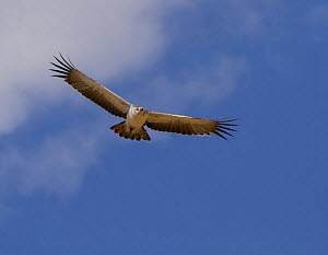 Martial eagle (Polemaetus bellicosus) in flight overhead, Tarangire National Park, Tanzania  -  Charlie Summers