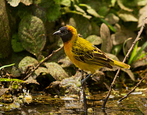 Lesser masked weaver (Ploceus intermedius) perched on a twig as it readies to drink, Tarangire National Park, Tanzania, February  -  Charlie Summers