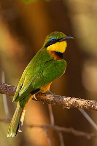 Little Bee-eater (Merops variegatus) portrait, Tarangire National Park, Tanzania, February - Charlie Summers