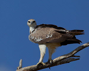 Martial eagle (Polemaetus bellicosus) perching on branch, Serengeti National Park, Tanzania, February  -  Charlie Summers