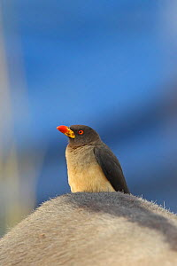 Yellow billed oxpecker (Buphagus africanus) Gambia, February  -  Robin Chittenden