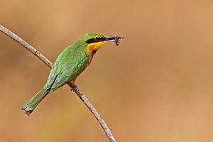 Little Bee-eater (Merops pusillus) with insect prey in beak, Western Division , Gambia, February  -  Robin Chittenden