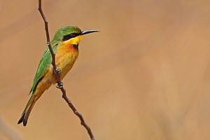 Little Bee-eater (Merops pusillus) Western Division, Gambia, February - Robin Chittenden