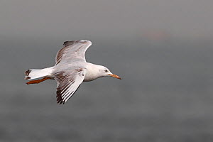 Slender billed gull (Chroicocephalus genei) in flight, Western Division, Gambia, March  -  Robin Chittenden