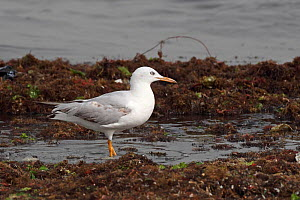 Slender billed gull (Chroicocephalus genei) on shoreline, Western Division, Gambia, March  -  Robin Chittenden