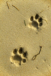 Footprints of an Amur / Siberian tiger (Panthera tigris altaica) in sand along the edge of the Sea of Japan, Lazovskiy Zapovednik Nature Reserve, Primorsky Krai, Russian Far East. March 1992. - Vladimir Medvedev