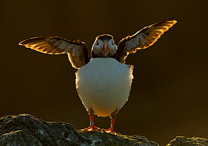 Atlantic puffin (Fratercula arctica) stretching its wings on a cliff top, Sule Skerry, Scotland, UK, July. 2020VISION Book Plate. Did you know? Puffin beaks are evolved to carry many fish - with a ser... - Danny Green / 2020VISION