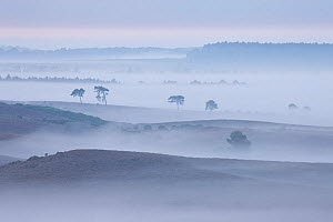View over New Forest lowland in mist at dawn. Vereley Hill, Burley, New Forest National Park, Hampshire, England, UK, August. 2020VISION Book Plate. Did you know? Before the New Forest was made a roya... - Guy Edwardes / 2020VISION