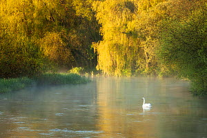 Mute swan (Cygnus olor) on the River Itchen at dawn, Ovington, Hampshire, England, UK, May. 2020VISION Book Plate.  -  Guy Edwardes / 2020VISION