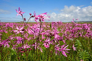 Ragged robin (Silene flos-cuculi) growing on Machair farmland, South Uist, Outer Hebrides, Scotland, July. 2020VISION Book Plate.  -  Mark Hamblin / 2020VISION