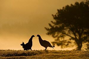 Silhouette of two male Black grouse (Tetrao tetrix) displaying at lek at dawn, Cairngorms NP, Grampian, Scotland, UK, April. 2020VISION Book Plate. - Mark Hamblin / 2020VISION