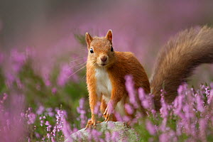 Red Squirrel (Sciurus vulgaris) in flowering heather. Inshriach Forest, Scotland, UK, September. 2020VISION Book Plate. Did you know? For every Red Squirrel in Britain there are around 18 Grey Squirre...  -  Peter Cairns