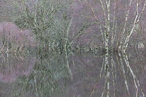 Woodland reflections in the floodwaters of the River Spey, Scotland, UK, December. 2020VISION Book Plate.  -  Peter Cairns / 2020VISION