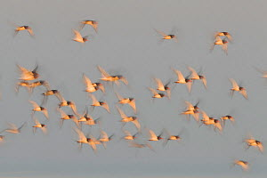 Flock of Oystercatchers (Haematopus ostralegus) in flight, The Wash Estuary, Norfolk, England, UK. September. 2020VISION Book Plate.  -  Peter Cairns / 2020VISION