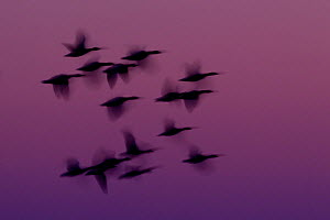 RF- Small group of Pink-footed geese (Anser brachyrhynchus) in flight at dawn, The Wash Estuary, Norfolk, England, UK, October 2011. (This image may be licensed either as rights managed or royalty fre...  -  Peter  Cairns / 2020VISION