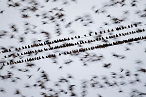 Common starlings (Sturnus vulgaris) gathering on telephone wires pre-roost, Solway Firth, Scotland, UK, November. 2020VISION Book Plate. Did you know? Historically all starlings were known as Stares,...  -  Peter Cairns / 2020VISION