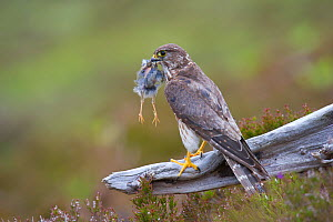 Merlin (Falco columbarius) female on perch with Meadow Pipit chick prey for its offspring. Sutherland, Scotland, UK, June. 2020VISION Book Plate. - Rob Jordan / 2020VISION