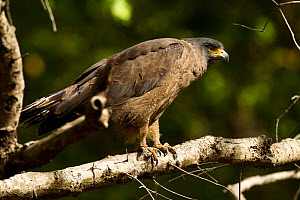 Crested serpent eagle (Spilornis cheela) perched in tree, Bandhavgarh National Park, Madhya Pradesh, India, March  -  Mary McDonald