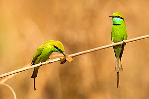 Little Green Bee-eaters (Merops orientalis) one with insect prey, Kanha National Park, Madhya Pradesh, India, April  -  Mary McDonald