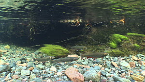 A group of four cock Arctic charr (Salvelinus alpinus) swimming upstream in a strong current, River Lisa, Ennerdale, Lake District National Park, Cumbria, England, UK, October.  -  Andy  Jackson / 2020VISION