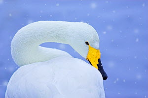 Whooper swan (Cygnus cygnus) in snowfall. Martin Mere Wetlands Trust, Lancashire,UK, January. 'Animal Portraits' category, British Wildlife Photographer Awards (BWPA) competition 2012. - Ben Hall