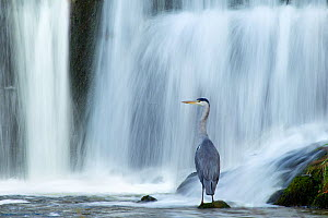 Grey heron (Ardea cinerea) beneath waterfall. Ambleside, Lake District, UK, November. Highly commended, 'Habitat' category, British Wildlife Photography Awards (BWPA) competition 2012. Did you know? I...  -  Ben Hall / 2020VISION