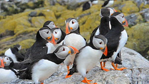 Group of Atlantic puffins (Fratercula arctica) displaying and vocalising, Farne Islands, Northumberland, England, UK, July  -  Rob  Jordan / 2020VISION