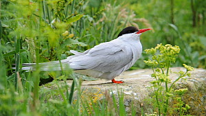 Arctic tern (Sterna paradisea) perched on rock, vocalising, Farne Islands, Northumberland, England, UK, June  -  Rob  Jordan / 2020VISION
