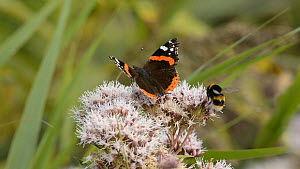 Red admiral (Vanessa atalanta) butterly and Buff-tailed bumblebee (Bombus terrestris) feeding on Hemp agrimony (Eupatorium cannabinum) flower, Strumpshaw Fen RSPB reserve, Norfolk, England, UK  -  Terry  Whittaker / 2020VISION