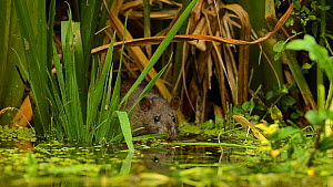 Water Vole (Arvicola amphibius) swimming away from Brown rat (Rattus norvegicus) emerging from reeds, Kent, England, UK, July - Terry  Whittaker / 2020VISION