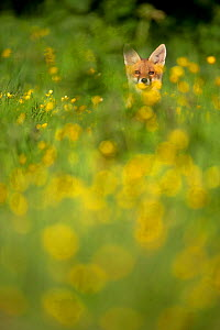 Red Fox (Vulpes vulpes) in meadow of buttercups. Derbyshire, UK, June. British Wildlife Photographer of the Year (BWPA) competition 2012, 'Outdoor Photography editor's choice' category. (Non-ex) - Andrew Parkinson