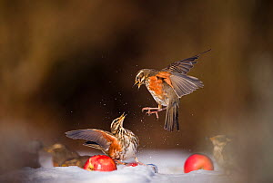 Redwings (Turdus iliacus) squabbling over an apple in snow. Derbyshire, UK, February. British Wildlife Photographer of the Year (BWPA) competition 2012, 'Animal Behaviour' category. (Non-ex) Winner of... - Andrew Parkinson