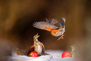 Redwing (Turdus iliacus) protecting a windfall apple from another bird. Derbyshire, UK, February. (Non-ex) - Andrew Parkinson