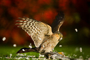 Sparrowhawk (Accipiter nisus) adult killing and plucking feathers from collared dove. Derbyshire, UK, November. British Wildlife Photographer of the Year (BWPA) competition 2012, 'Animal Behaviour' ca...  -  Andrew Parkinson