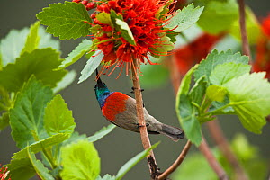 Greater Double collared sunbird (Nectarinia afra), male feeding from Natal Bottle Brush (Greyia sutherlandii) Hidden Valley, KwaZulu-Natal, South Africa, October - Kerstin Hinze