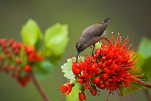 Greater Double collared sunbird (Nectarinia afra), female feeding from Natal Bottle Brush (Greyia sutherlandii) Hidden Valley, KwaZulu-Natal, South Africa, October - Kerstin Hinze