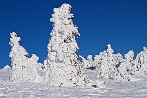Norway Spruce tree (Picea albies) covered in thick snow, Brocken, Hochharz National Park, Harz, Saxony-Anhalt, Germany  -  Kerstin Hinze